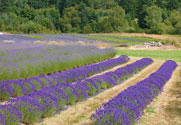 Blooming Lavender at Pelindaba Lavender Farm