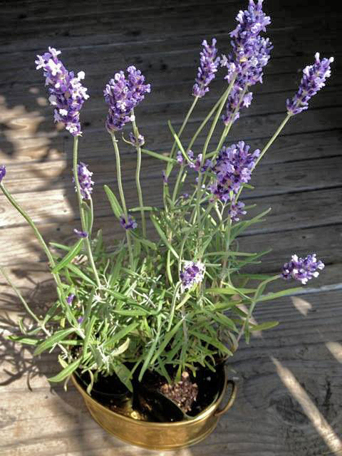 cooking with lavender plants
