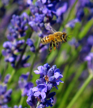 blooming organic lavender at pelindaba lavender farm with honey bees