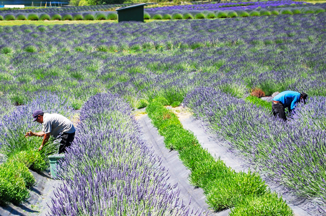 Behind the Scenes - Harvesting Lavender at the Farm