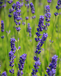 angustifolia english lavender plant