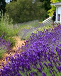 Lavender Essential Oil - Pelindaba Lavender - Lavender